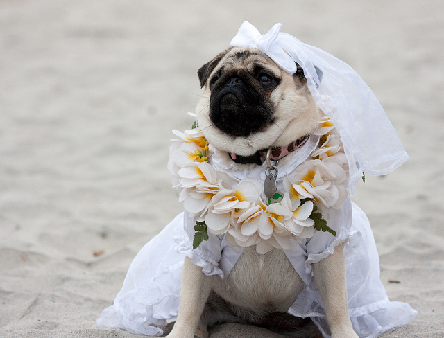 wedding_dog_dress07