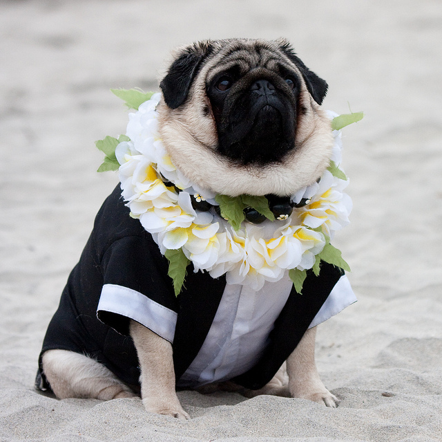wedding_dog_dress08