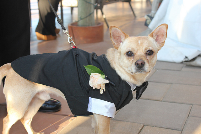 wedding_dog_dress10